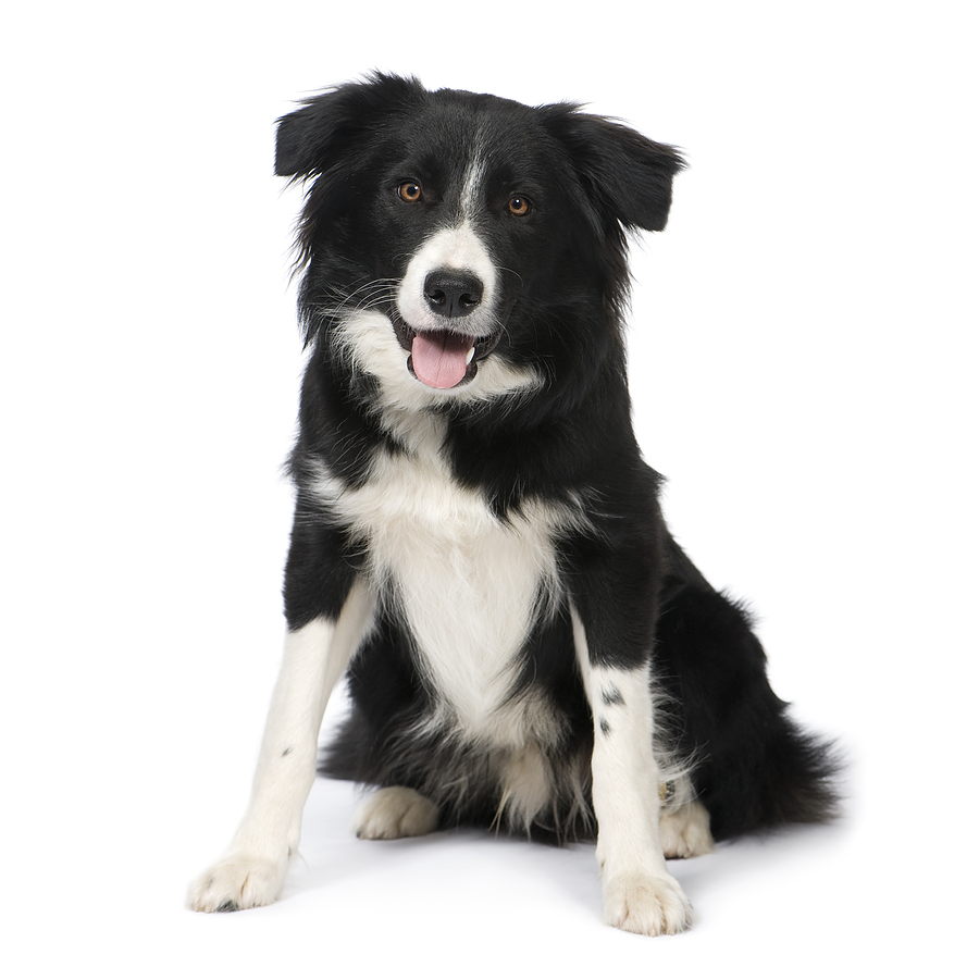 Pin Border Collie Puppy on Pinterest